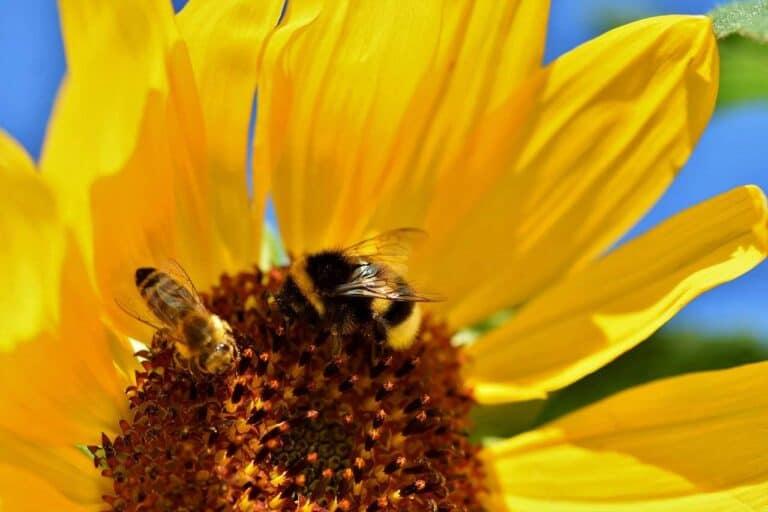 Bee Vectoring Technologies (BVT)